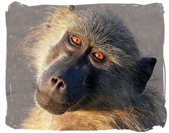 Chacma Baboons are a familiar sight on the Cape peninsula - Table Mountain National Park near Cape Town in South Africa