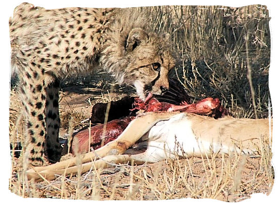 Dinner is on the table for this Cheetah - The Kalahari desert, place of breathtaking Kalahari safaris