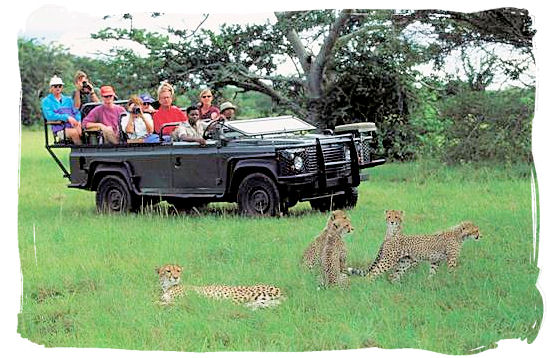 Game drive and Cheetah encounter - Shimuwini bushveld camp, Kruger National Park