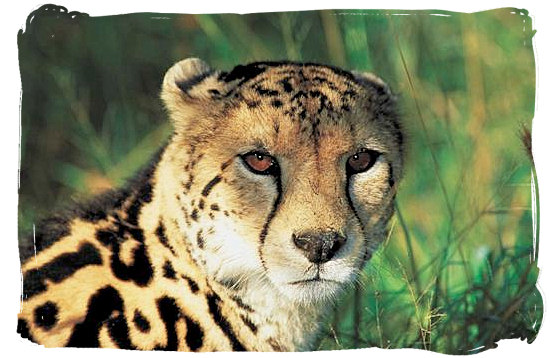 Portrait of the rare King Cheetah - Mopani rest camp