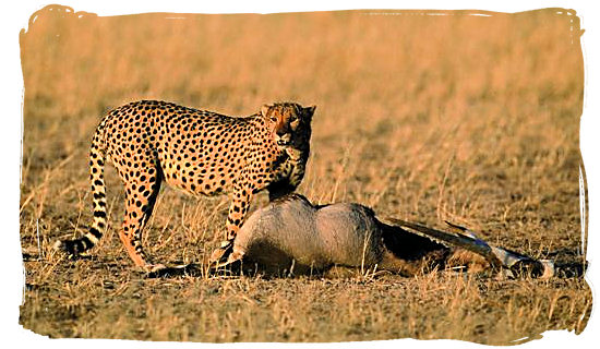 Cheetah and its Gemsbok kill - Bitterpan Wilderness Camp, Kgalagadi Transfrontier Park