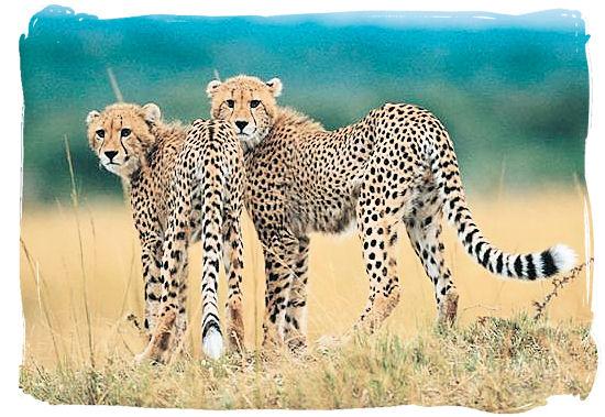 Cheetahs, the fastest animals on land - Shimuwini bushveld camp, Kruger National Park