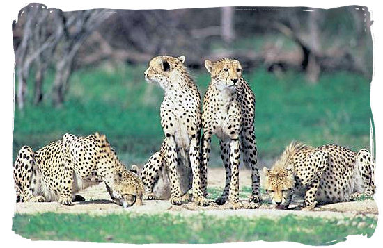 Cheetahs, fastest animals on earth - Shingwedzi Rest Camp, Kruger National Park, South Africa
