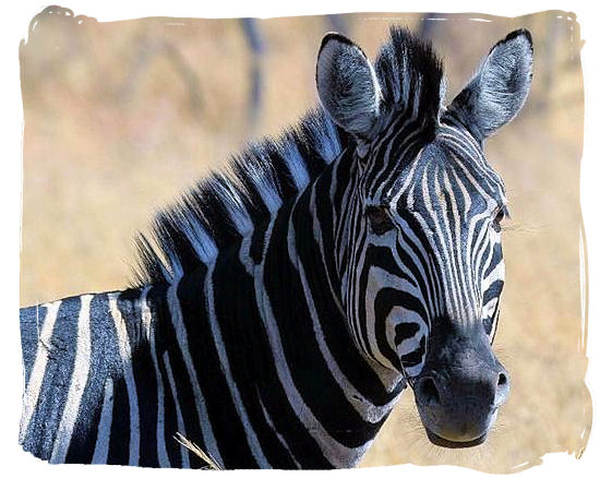 Burchell's Zebra, a subspecies of the common or plains Zebra