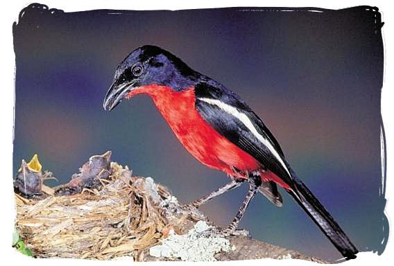 Crimson-breasted Shrike - Biyamiti bushveld camp