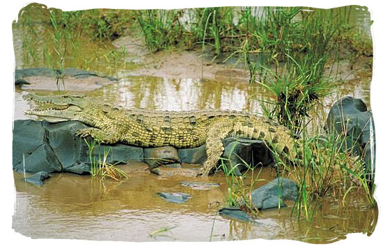 Nile crocodile lazing in the sun - Kruger National Park wildlife