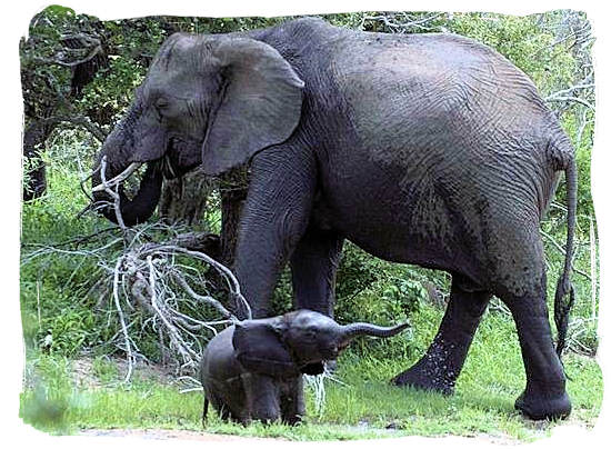 Elephant mother and her baby - Shimuwini bushveld camp, Kruger National Park