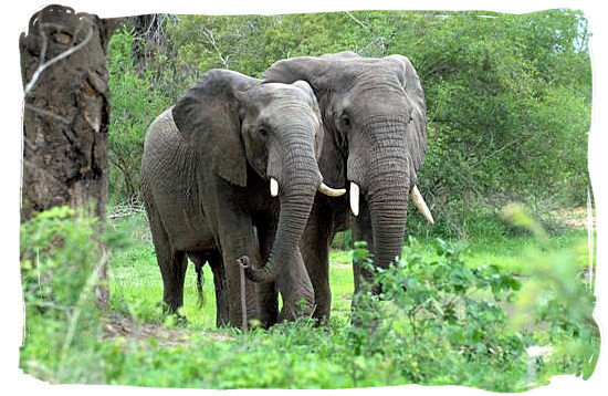 A pair of Elephant bulls - Kruger National Park Camps, Kruger National Park, Map, Tours, Safaris