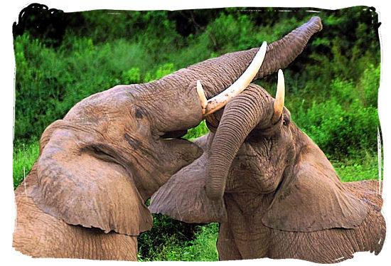Elephants challenging each other - Marakele National Park activities