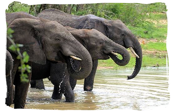 Elephant drinking party - Letaba main rest camp, Kruger National Park, South Africa