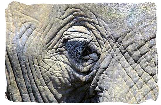 Elephant blinking its eye - Roodewal Bush Lodge