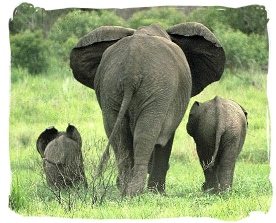 Elephant family on a stroll in one of the South African National Parks