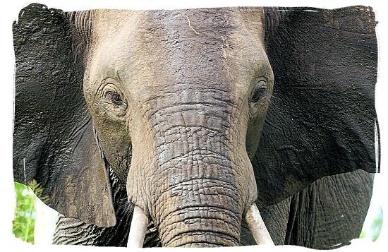 Elephant portrait - Marakele National Park accommodation
