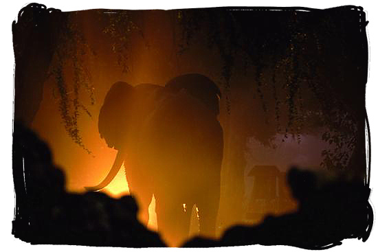 Elephant wandering in the night