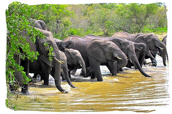 Herd of Elephants drinking their fill - Marakele National Park in South Africa