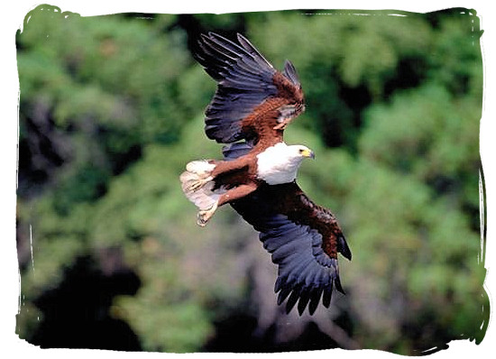 Soaring African Fish Eagle in flight - Sirheni Bushveld Camp, Kruger National Park Safari, South Africa