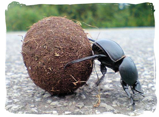 The rare flightless Dung beetle rolling away its ball of dung - Addo Elephant Park accommodation