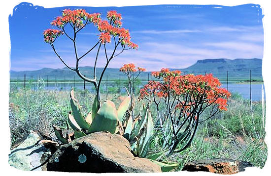Flowering Aloes with the Nqweba dam in the back ground - Camdeboo National Park (previously Karoo Nature Reserve