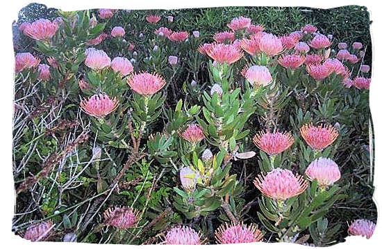 "Flowering 'fynbos"", part of the unique Cape Floral Kingdom"