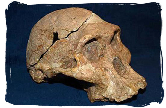 Believed to be 2,5 million years old, this fossilized scull known today as Mrs. Ples, was found in the Sterkfontein caves
