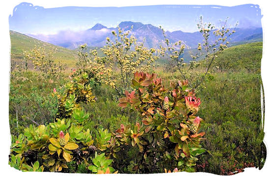 Fynbos in the Southern Cape - The Cape Mountain Zebra National Park, endangered Mountain Zebras