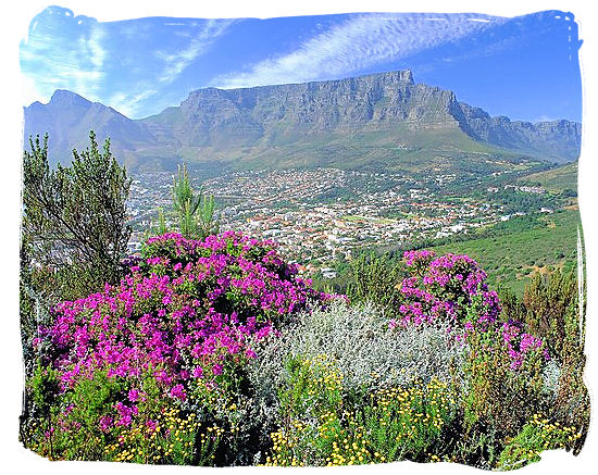 View of Table Mountain with Fynbos in the foreground