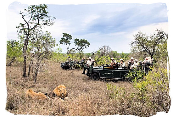 Lion encounter in the Sabi Sabi private game reserve