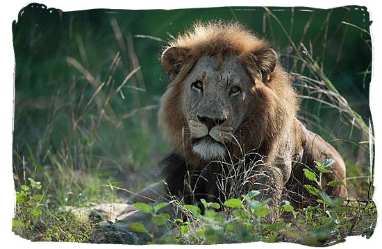 Male Lion, taken in the Kruger National Park