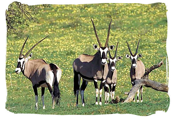 Small herd of Oryx antelope, locally known as Gemsbok, in Tankwa - Tankwa Karoo National Park, National Parks in South Africa