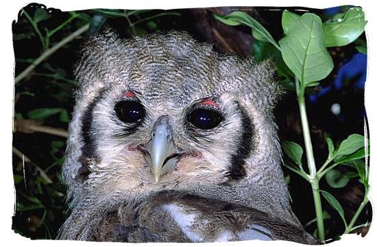 Giant Eagle Owl - Boulders Bush Lodge, Kruger National Park, South Africa
