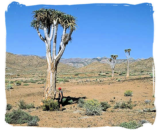 "The Giant Quiver Tree, ""Aloe dichotoma"""
