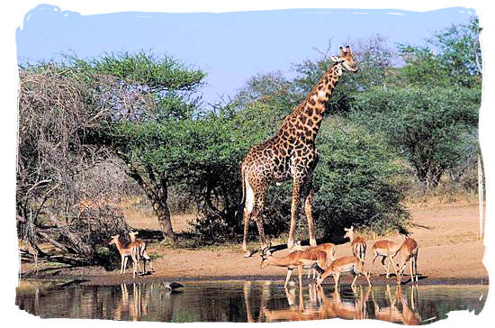 Giraffe and Impala at a water hole - Kruger National Park Camps, Kruger National Park, Map, Tours, Safaris