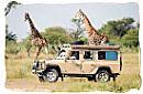 A self-drive safari having an encounter with two Giraffes