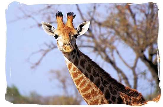 This Giraffe is watching you