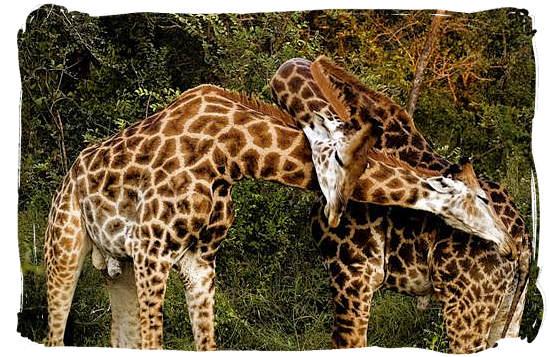 Two male Giraffes fighting it out - Talamati bushveld camp