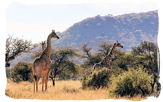 Landscape in the Mokala National Park - Endangered African animals