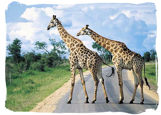 Olifants Restcamp, Kruger National Park, South Africa - Giraffes crossing the road