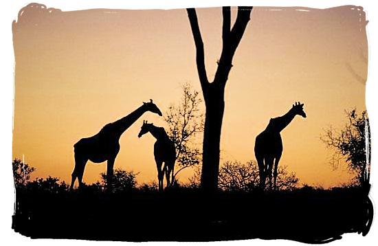 Giraffe silhouettes - Pretoriuskop rest camp