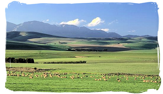 Landscape with grazing sheep near Swellendam