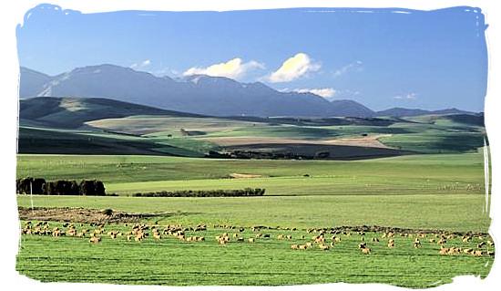 Landscape with grazing sheep near Swellendam