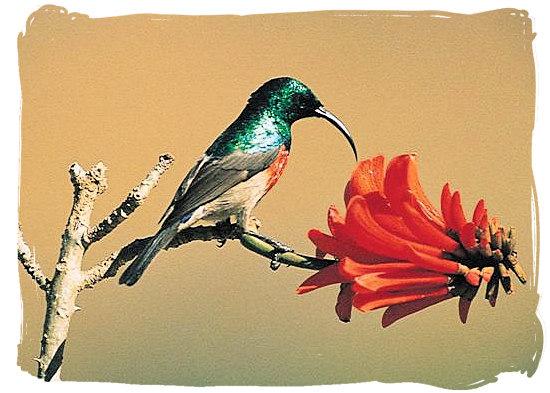 Greater Double-Coloured Sunbird at Pretoriuskop rest camp