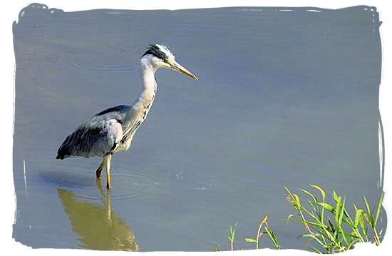 Grey Heron looking for a meal - Shimuwini bushveld camp, Kruger National Park