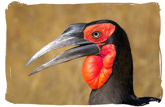 Ground Hornbill - Tsendze Camping site, Kruger National Park, South Africa