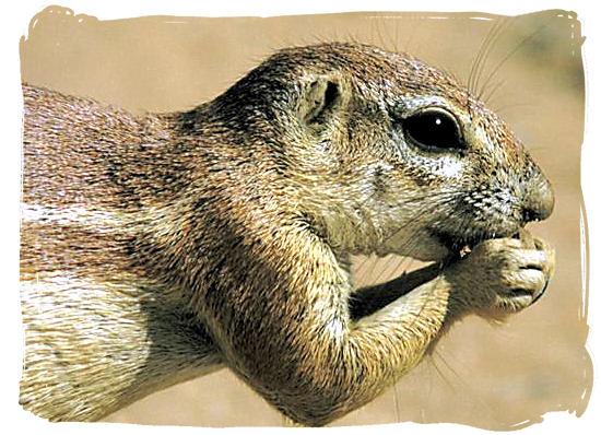 Ground squirrel - Grootkolk Wilderness Camp, Kgalagadi Transfrontier Park