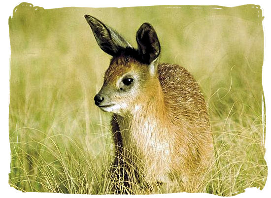 "The small ""Grysbok"" antelope"