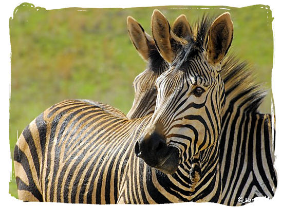 Hartmanns Mountain zebras - The endangered Mountain Zebras in the Mountain Zebra National Park