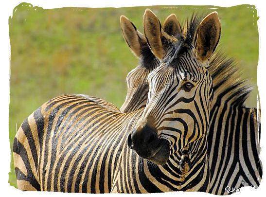 Hartmanns Mountain zebras - The endangered Mountain Zebras in the Mountain Zebra National Park