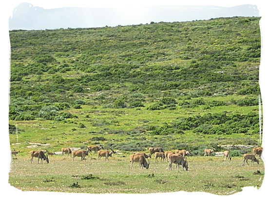Large herd of Eland, largest antelope species on the African continent - West Coast National Park Attractions, South Africa National Parks