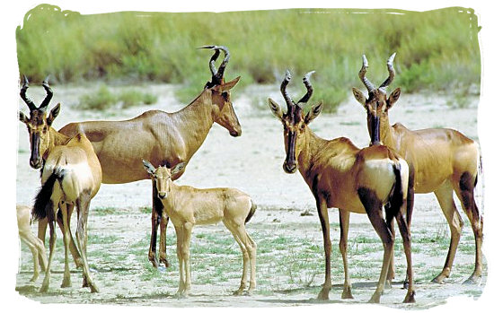 Small herd of Red Hartebeest antelope - Mokala National Park in South Africa, endangered African animals