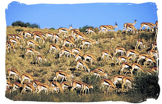 Large herd of Springbok (Springbuck) antelope, one of South Africa's national symbols